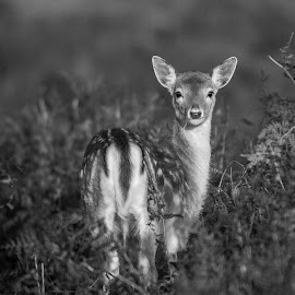 Beauty of nature by Garry Chisholm - Black & White Animals ( deer, nature, mammal, wildlife, garry chisholm, bradgate )