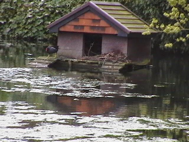 Moorhens on the Pond April 2008 - IMGA3954.jpg