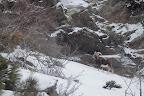 A L'ABRI, TU PARLES !     Mouflon mâle (ou bélier) sous une tempête de neige dans les Pyrennées Orientales