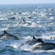 100 000 'Super Mega-Pod' of Dolphins Spotted:is they escape from something ~ COSMOS TV LATEST NEWS