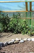 Unsere Tomaten mit SchutzhausIMG_0683.JPG