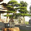 19 krásna tvarovaná borovica vítala návštevníkov pred santalovým pavilónom.JPG