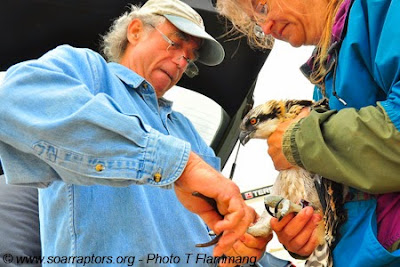 Pat S, Iowa DNR puts bands on an osprey.