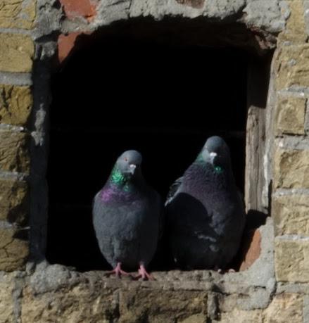 птицы голубки