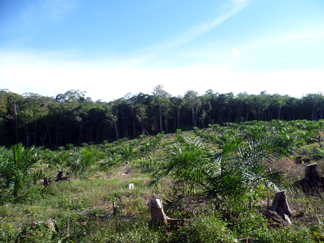 Young palm oil plantation and forest in Sumatra. Photo: Clifton Sabajo