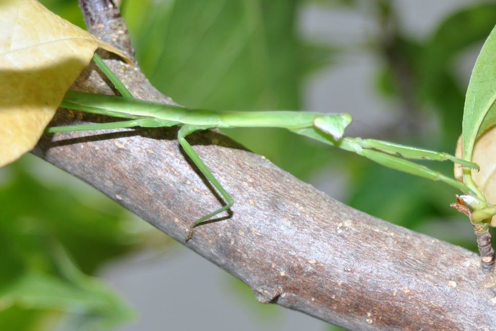 Mantid Stretched Out