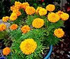 Planting Yellow Marigold Plant