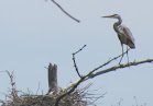 Heron Colony at Libby Hill.JPG