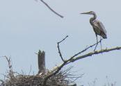 Heron Colony at Libby Hill.JPG