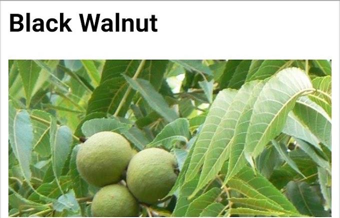 Botanical name of Black walnut and its medicinal uses