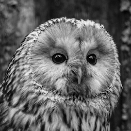Ural by Garry Chisholm - Black & White Animals ( raptor, ural owl, bird of prey, nature, garry chisholm )