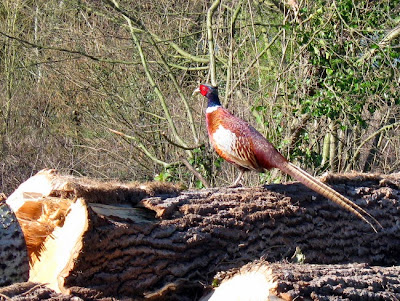 Cock pheasant sitting on a log