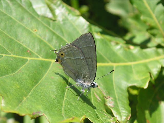 Favonius orientalis MURRAY, 1875 ou F. ultramarinus FIXSEN, 1887 (?). Extrémité sud de la péninsule de Gamova, 29 juillet 2010. Photo : J. MIchel