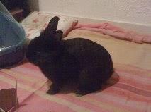 [adopté] Mica, lapin noir Mica7-6a784