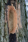 Evidence of a Pileated Woodpecker.