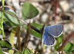 Sydlig blåfugl, han - celiina2.jpg