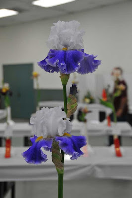 Tall Bearded Iris 'Elvis' - Winner of most popular iris - SDIS Spring Show 2017 (iris grown by Steve and Sharlyn Rocha)