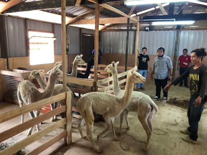 Tempat tumpuan terbaru Kundasang, Alpaca Club Sabah dibuka selepas Pkp