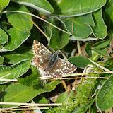 Pyrgus malvae (L., 1758). Hautes-Lisières (Rouvres, 28), 12 mai 2011. Photo : J.-M. Gayman