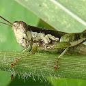 Short-winged rice grasshopper