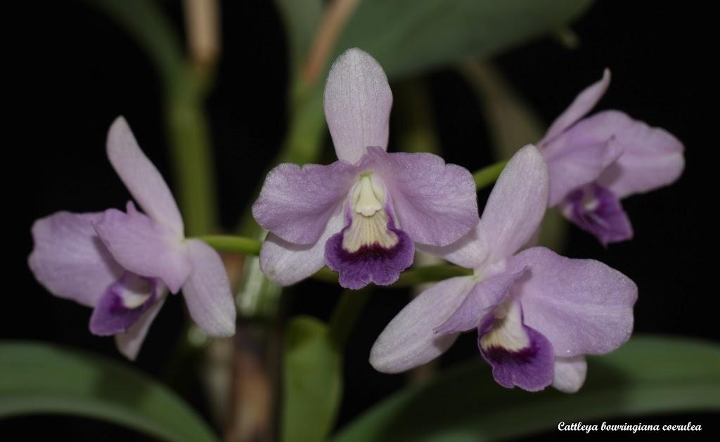Cattleya bowringiana coerulea IMG_8736b%252520%252528Large%252529