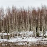 Зима в березняке