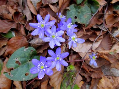 Kroz suho lišće izvire proljeće..