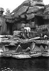 Jegesmedve a budapesti állatkertben, 1936 (Fotó: Fortepan)