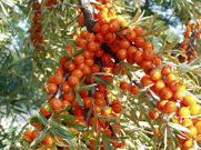 Manfaat Seabuckthorn Oil