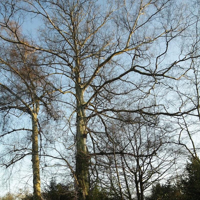 Stowe_Trees_22.JPG