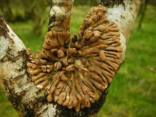 Hazel Gloves (Hypocreopsis rhododendri) - Achosnich nr. Kilchoan