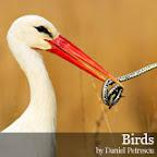 Birds by Daniel Petrescu