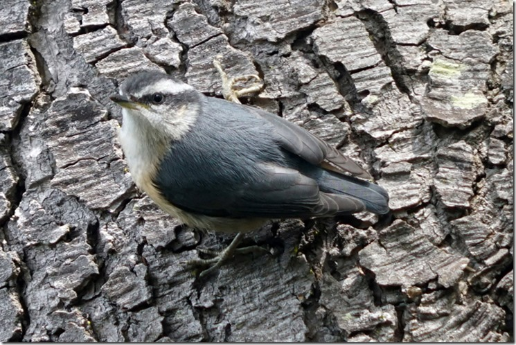 lopez nuthatch 060717 00014