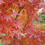 箱根の紅葉
