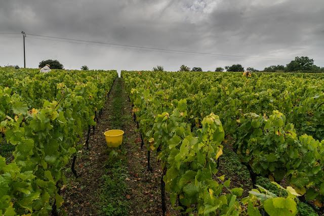 Petites vendanges 2017 du chardonnay gelé. guimbelot.com - 2017-09-30%2Bvendanges%2BGuimbelot%2Bchardonay-112.jpg