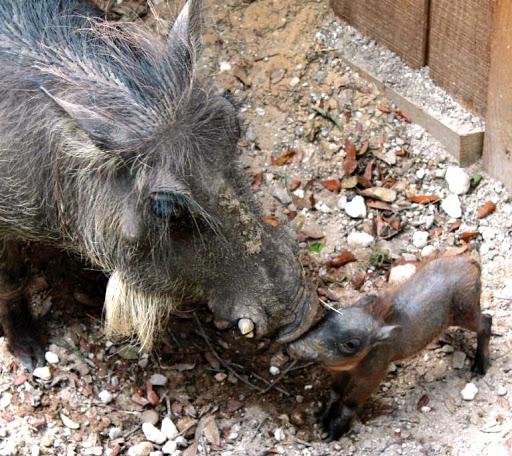 It's a Bouncing Baby WartHog at the Central Florida Zoo