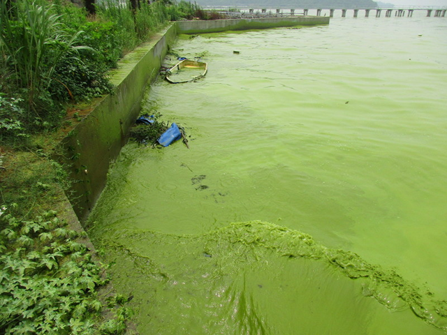 Cyanobacterial bloom in Taihu Lake in China. Photo: Hans W. Paerl / University of North Carolina