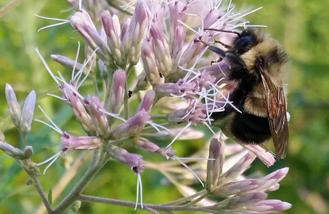A rusty patched bumble bee which the U.S. Fish and Wildlife Service proposed listing for federal protection as an endangered species is pictured in Madison, Wisconsin, U.S. 7 August 2015. Photo: Rich Hatfield