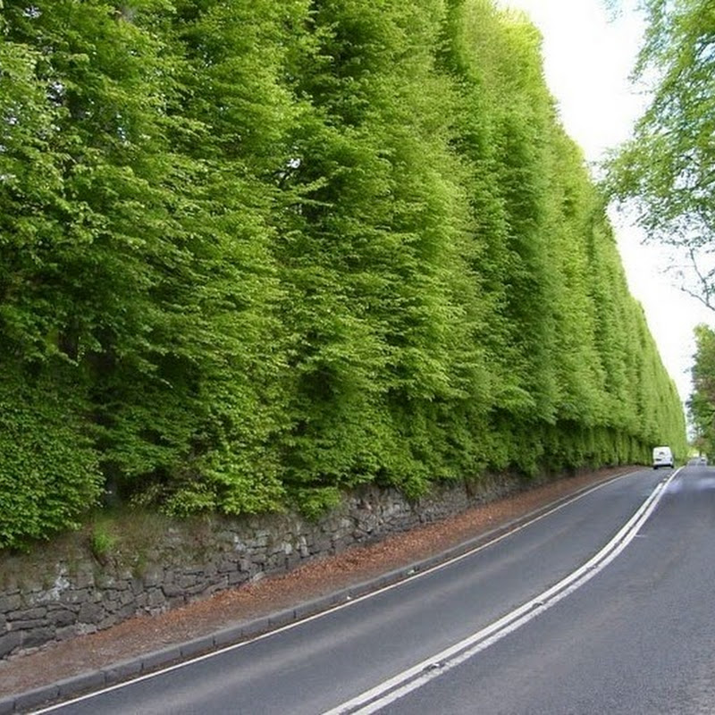 Meikleour Beech Hedges: World's Largest Hedge