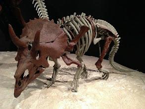 Photo: Baby triceratops