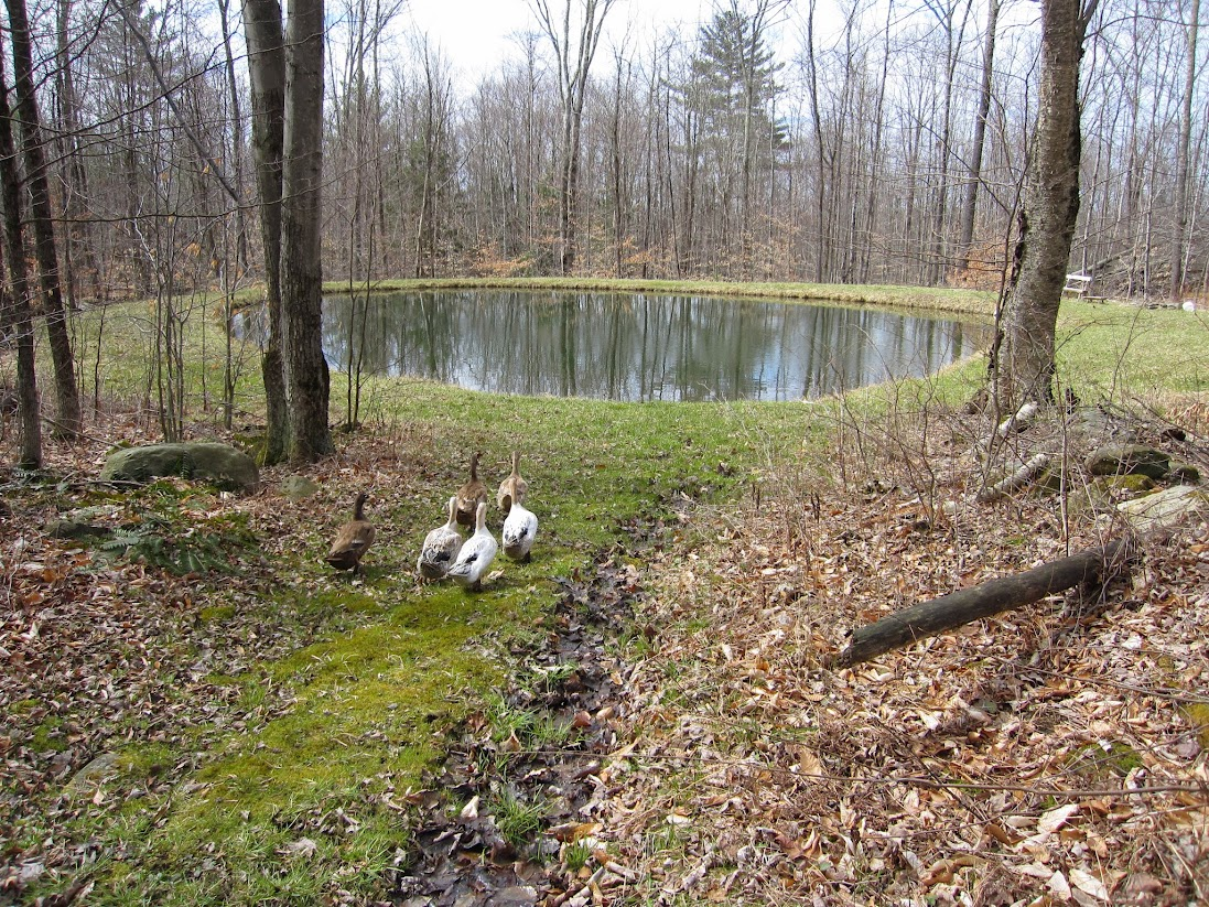 Picture of ducks going to the pond