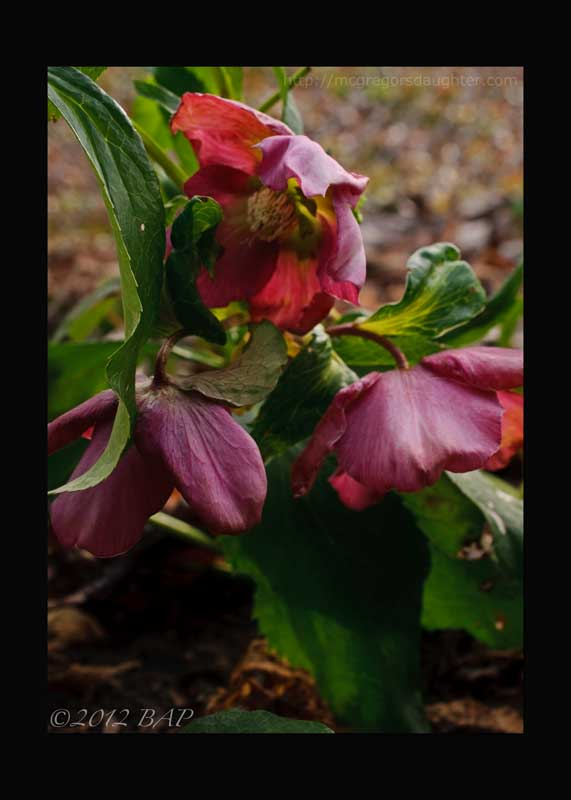 Lo, how a hellebore e'er blooming!