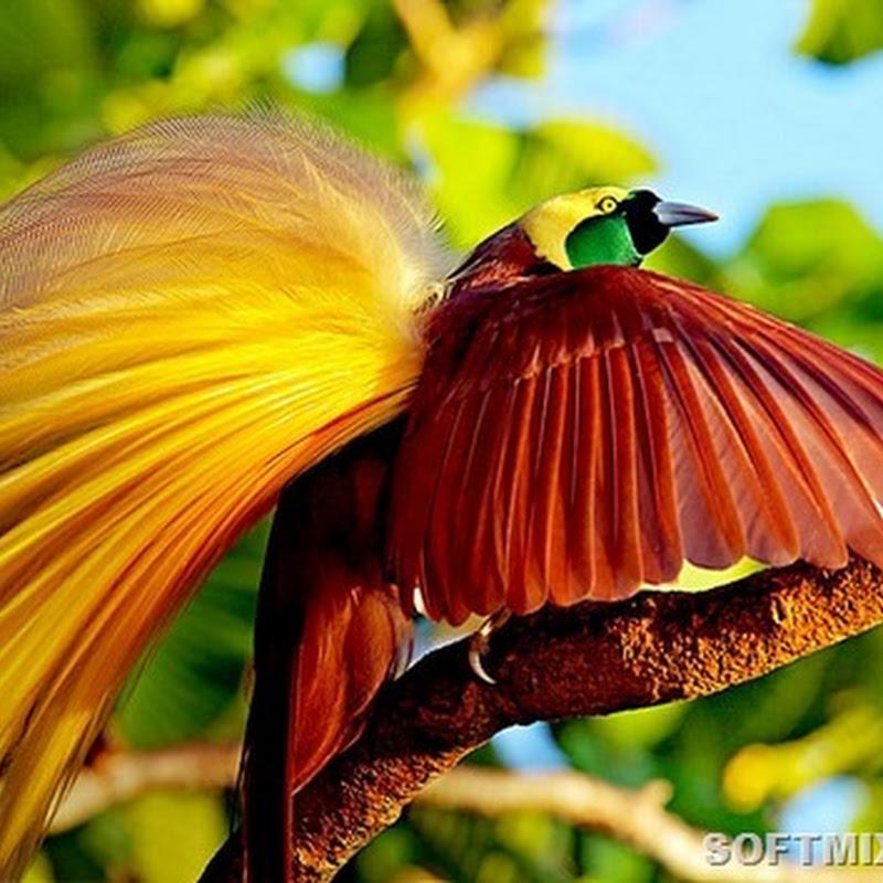 Тайны райских птиц