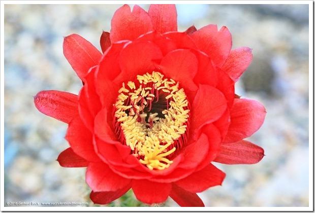 160530_echinopsis_flower_010