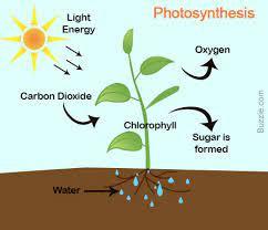 प्रकाश संश्लेषण और श्वसन की क्रिया में क्या अंतर है