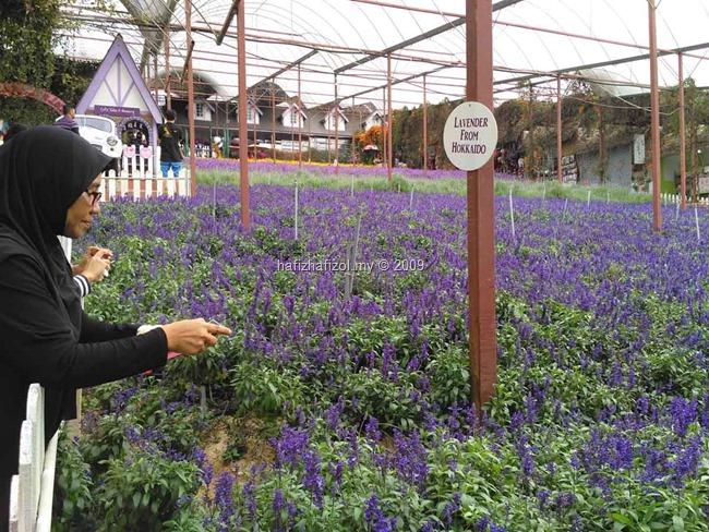 taman lavender cameron highland