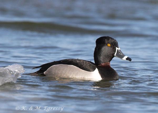 Ring-necked Duck (Karl Egressy) - note ring on bill