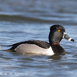 Ring-necked Duck (Karl Egressy) - note ring on bill