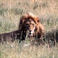 69 lion Serengeti.jpg
