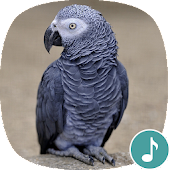 Appp.io - African Grey Parrot Sounds